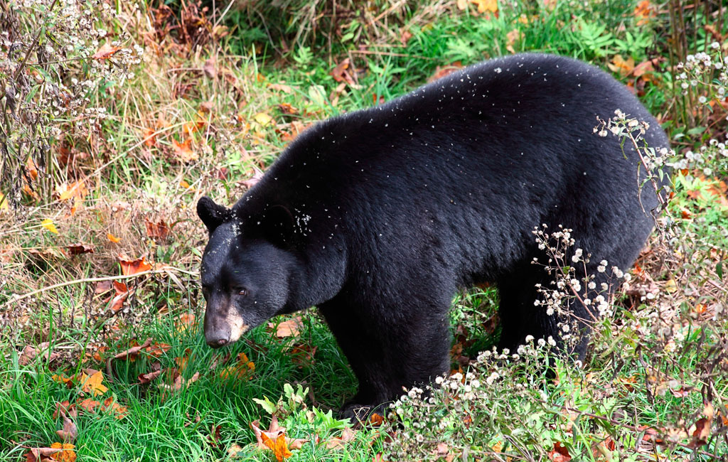 American Black Bear Walking Through Shrubs and Grass on a Fall D