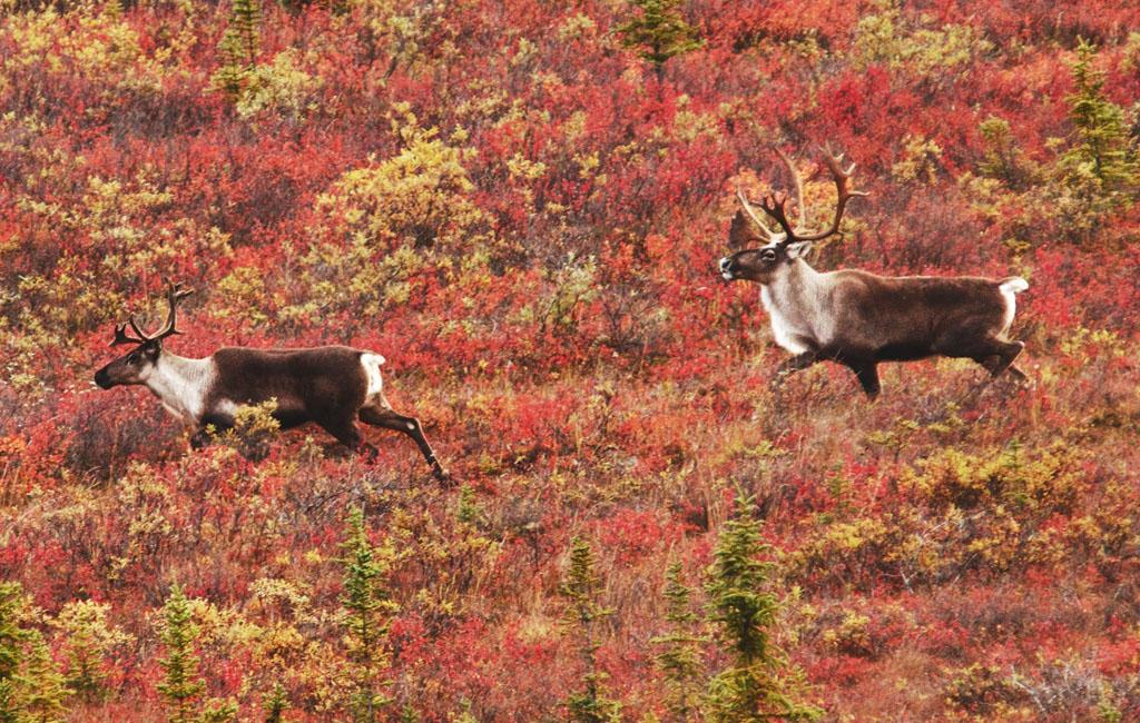 home_caribou